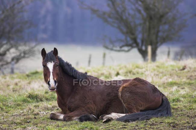 Cavallo che stabilisce — Foto stock