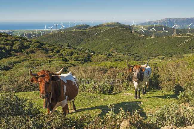 Cows in field with numerous wind turbines — Stock Photo