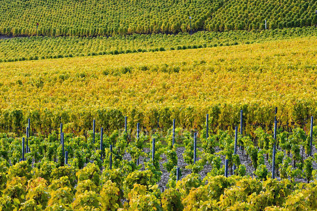 View of green Vineyards — Stock Photo