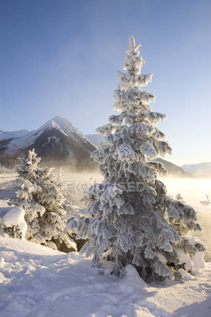 Hoar-Frost Covered Spruce Trees — Stock Photo