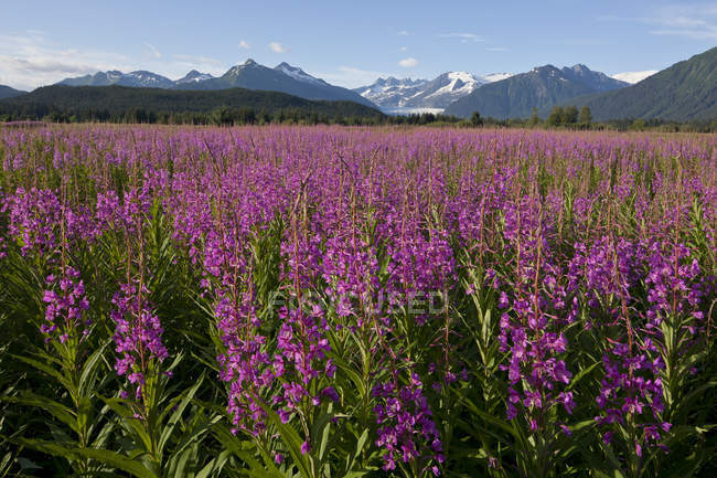 Scenic View Of A Field Of Fireweed With Mendenhall Glacier And Towers In The Background, Southeast Alaska, Summer — Stock Photo