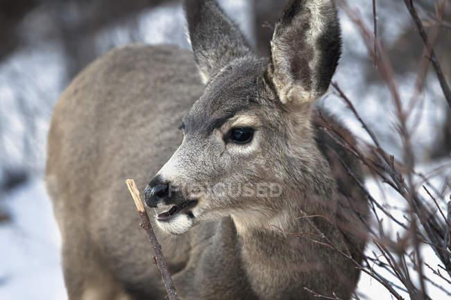 Cerf dans la neige — Photo de stock