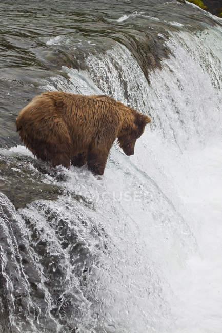 Braunbär bei Brooks Falls — Stockfoto