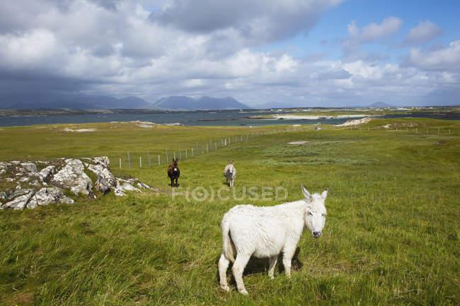 Cavalos no campo com baía de mannin — Fotografia de Stock