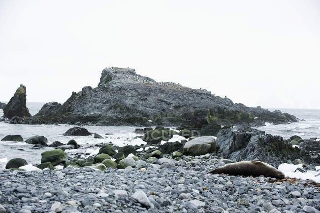 Crabeater seal laying on stones — Stock Photo