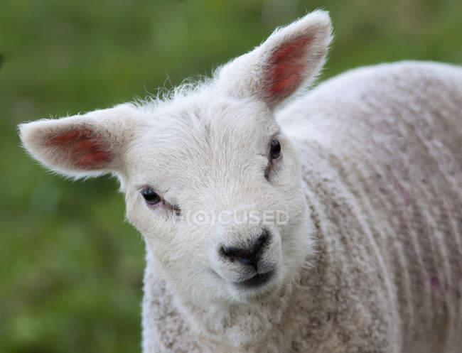 Close up of a cute lamb — Stock Photo
