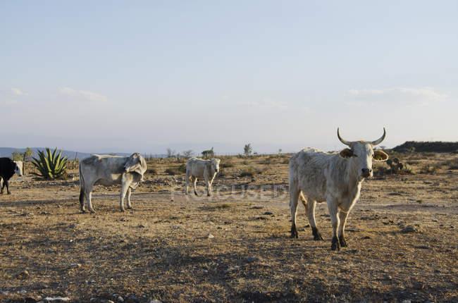 Blick auf Rinderfarm — Stockfoto