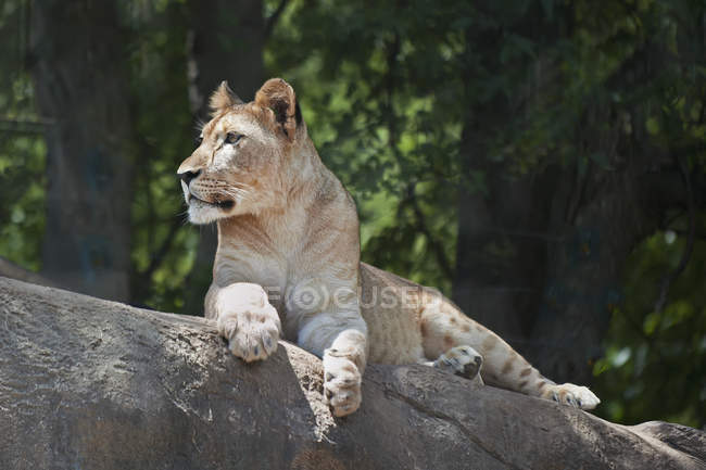 Lion rests on rock — Stock Photo