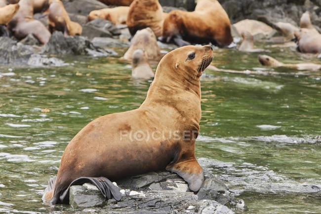 Carina i leoni di mare che si trova sulle rocce accanto acqua — Foto stock