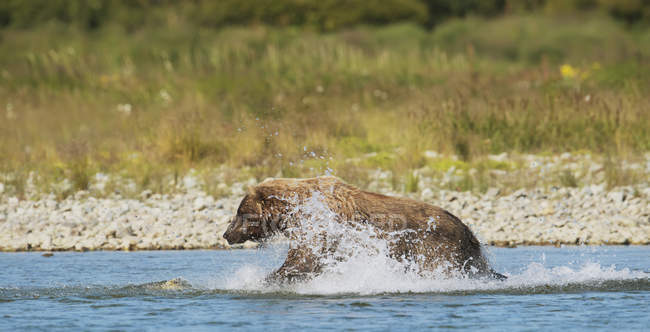 Brown bear fishing for salmon in river — Stock Photo