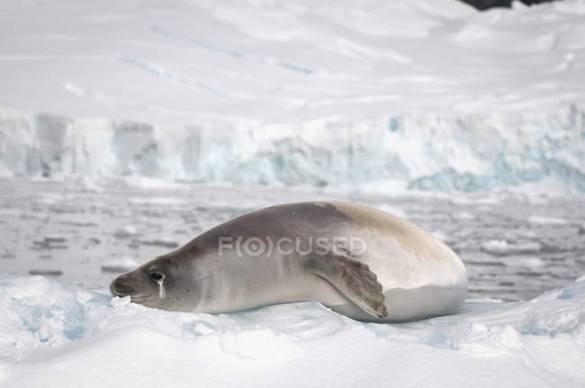 Foca cancrivora sulla neve — Foto stock