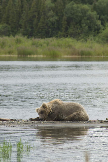 Young brown bear resting on edge — Stock Photo