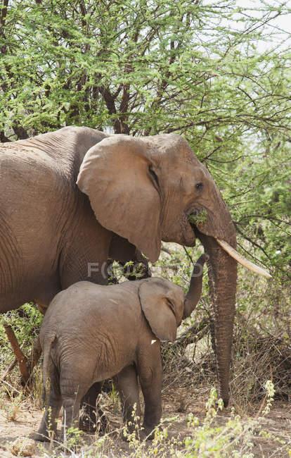 Elefante della madre con il bambino — Foto stock