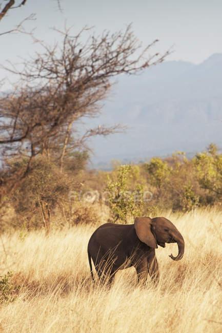 Слон прогулянки по траві — стокове фото