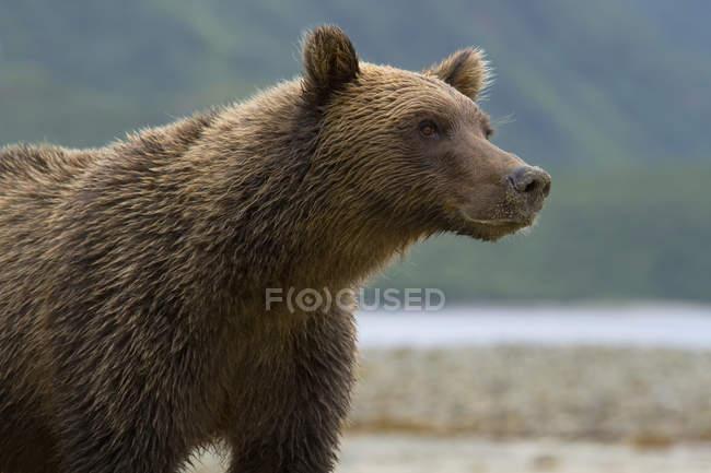 Coastal Brown Bear Standing On Beach — Stock Photo