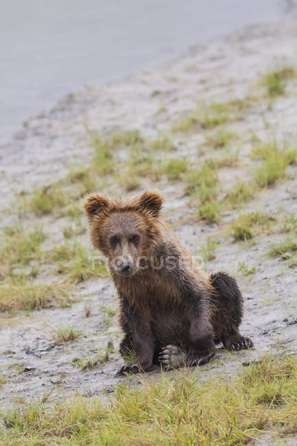 Coastal brown bear spring cub — Stock Photo