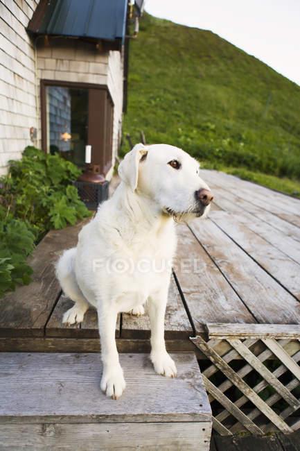 Собака сидит на деревянного крыльца — стоковое фото