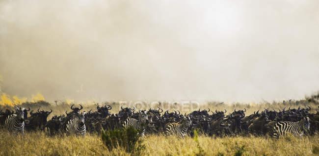 Zebre e gnu in erba — Foto stock