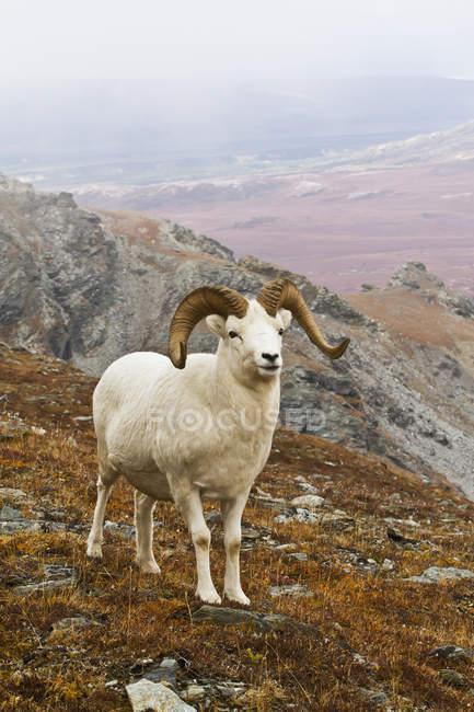 Pecore dall ram — Foto stock