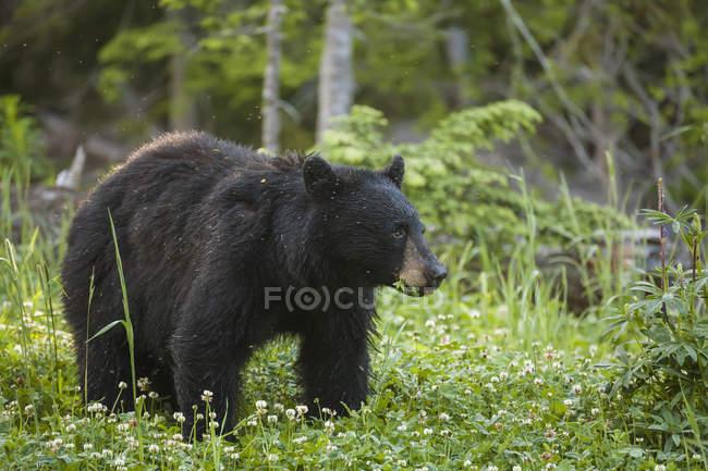 Orso nero che si alimenta sul trifoglio — Foto stock