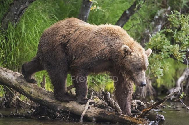 Passeggiate di orso bruno — Foto stock