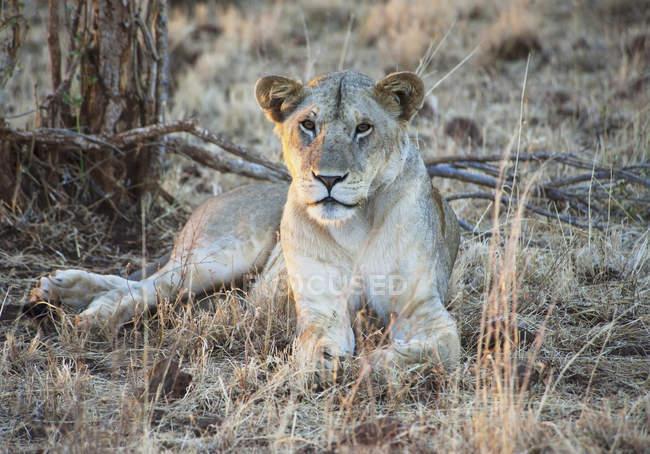 Лев сидит на траве — стоковое фото
