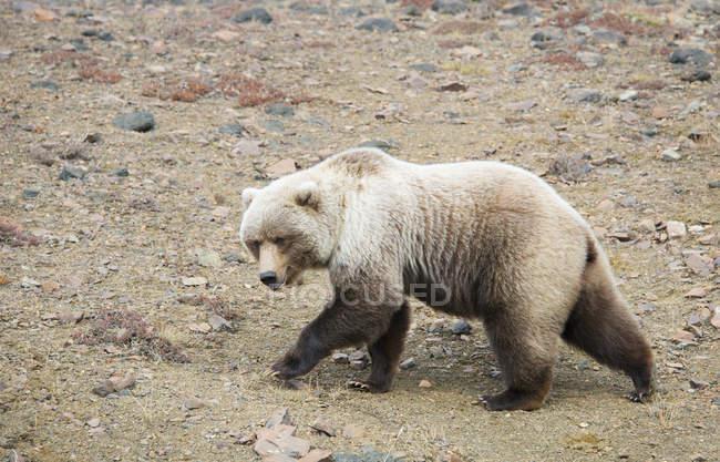 Brown bear walks across gravel — Stock Photo