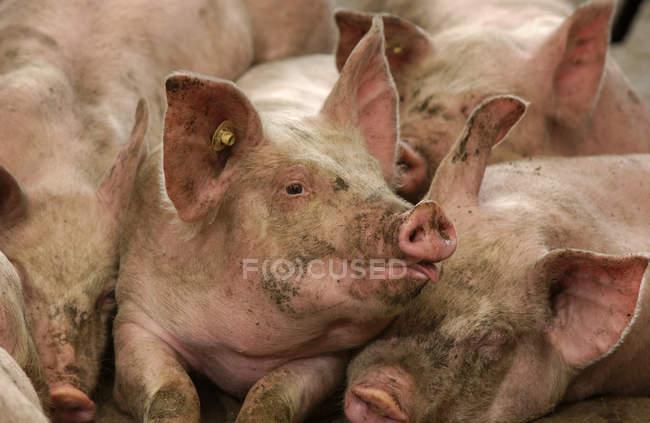 Hogs con tag sulle orecchie in struttura di confinamento di maiale. Iowa, Stati Uniti d'America — Foto stock