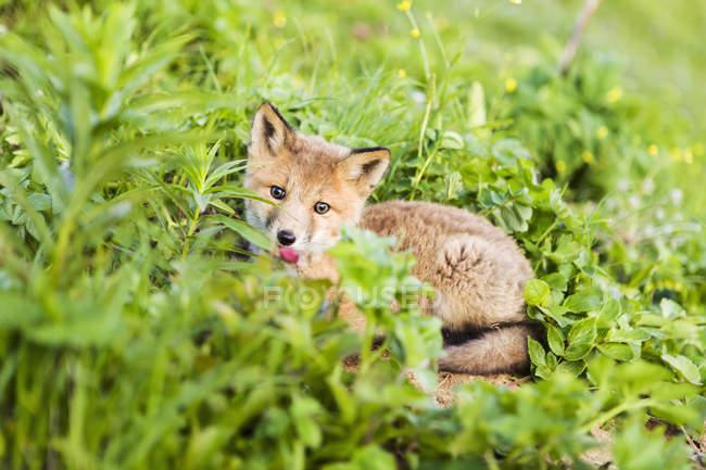 Cucciolo di volpe rossa — Foto stock