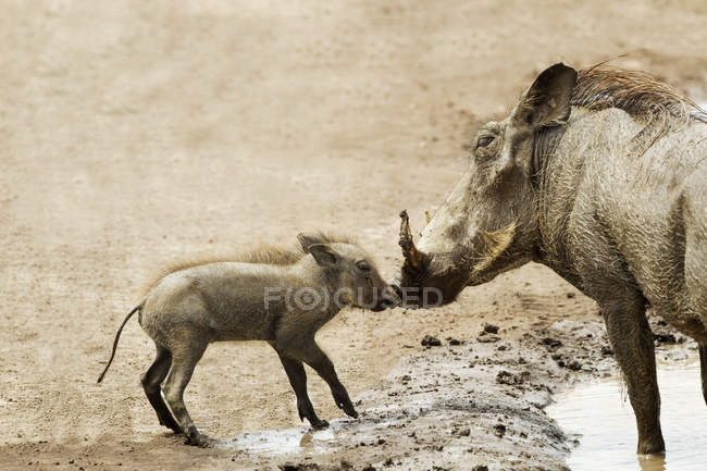 Bebé warthog besar madre - foto de stock