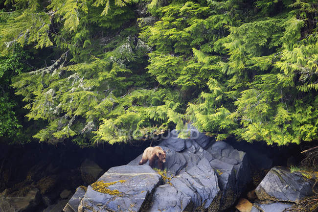 Orso Grizzly emerge dalla foresta — Foto stock