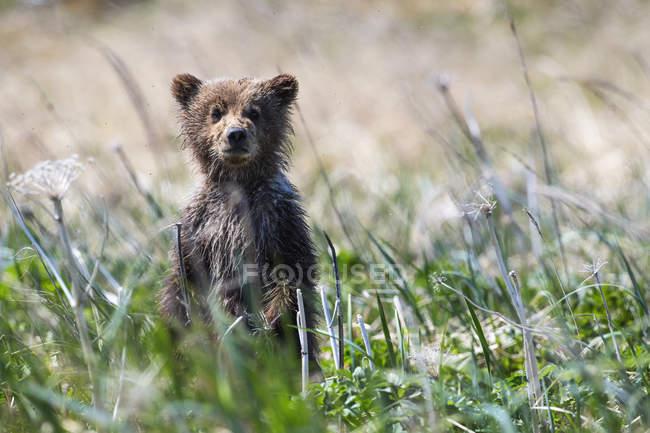 Bear cub sbirciare — Foto stock