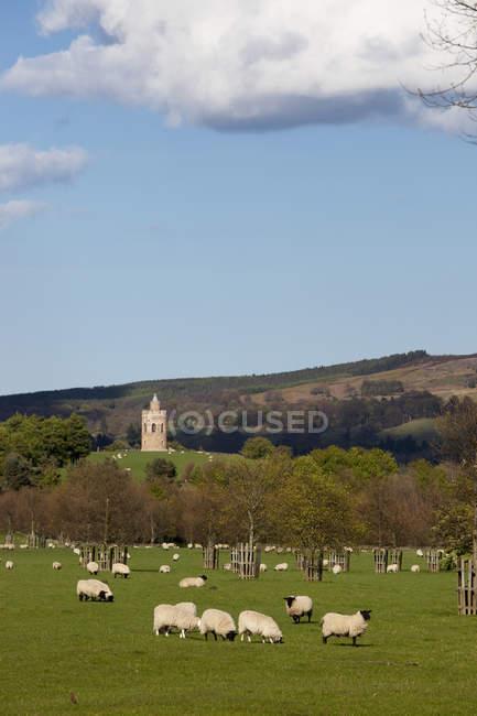 Pecore al pascolo in campo — Foto stock