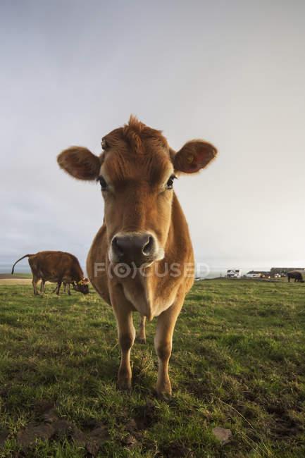 Mucca che fissa alla macchina fotografica — Foto stock