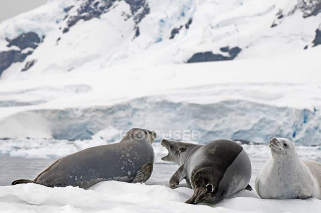 Guarnizioni di Lobodon posa sulla neve — Foto stock