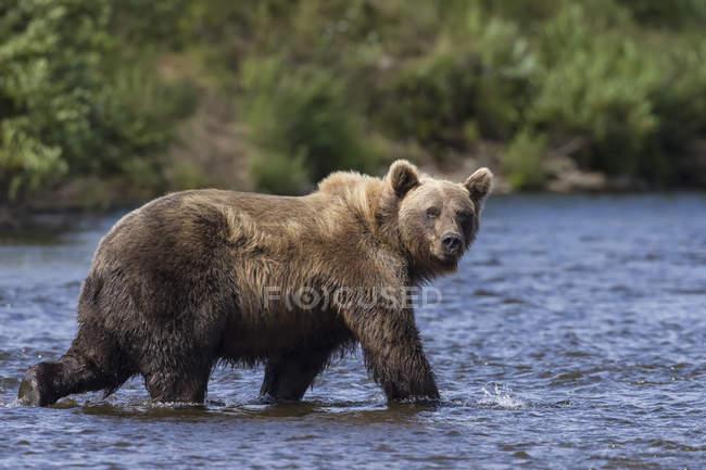 Bear walks down shallow stream — Stock Photo