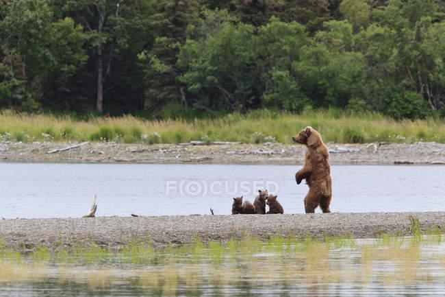Ours brun truie se trouve près de la rivière — Photo de stock