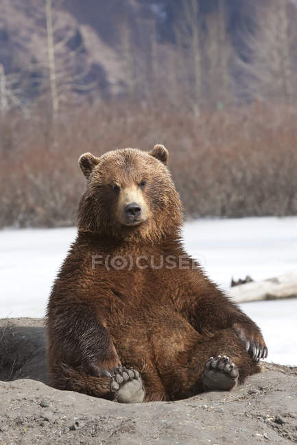 Brown Bear Sits On Its Rump — Stock Photo