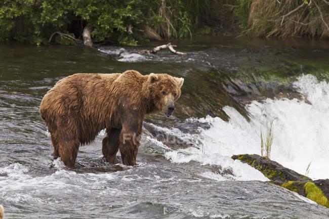 Lone Brown Bear Male At Falls — Stock Photo