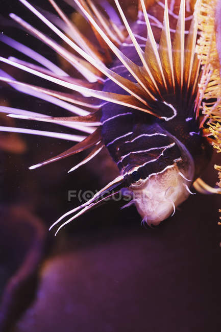 Clearfin pavo natación - foto de stock