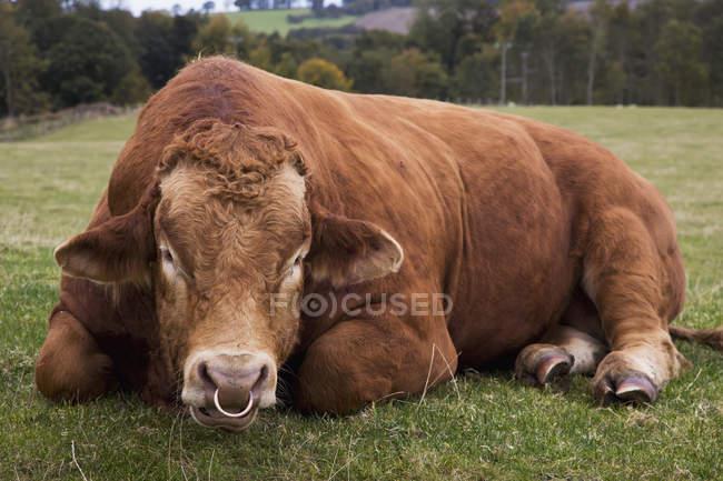 Mucca con anello al naso — Foto stock