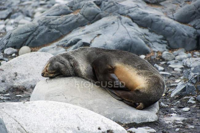 Mare di pelliccia antartica — Foto stock
