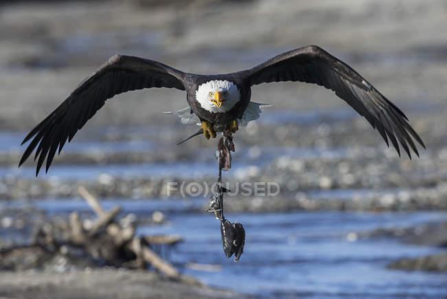 Aquila calva che trasportano salmone — Foto stock
