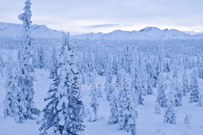 Snow-Covered Spruce Trees Line — Stock Photo