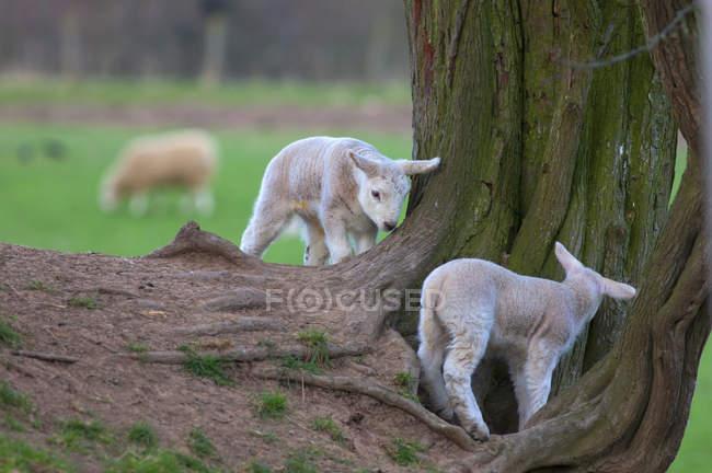 Lambs playing around the base of tree — Stock Photo