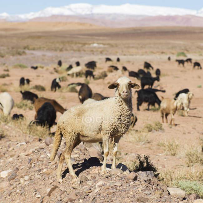 Schafe und Ziegen weiden auf flachen Landschaft — Stockfoto
