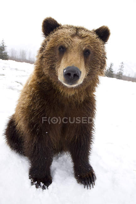 Captive Brown Bear Sitting In Snow — Stock Photo