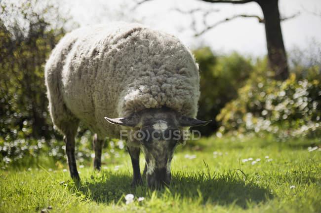 Овець пасеться на траві — стокове фото