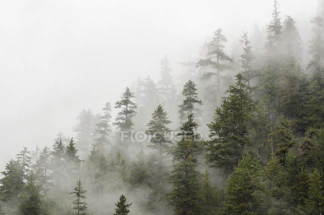 Дерева в лісі, оповита хмара — стокове фото