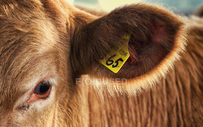 A Tag In A Cow 's Ear — стоковое фото